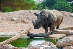Rhinoceros & x28;Ceratotherium simum& x29;. Rhinoceros & x28;Ceratotherium simum& x29; also known as square-lipped rhinoceros walking towards a pond Royalty Free Stock Photography