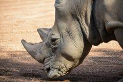 Rhinoceros Ceratotherium simum simum royalty free stock image