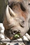 Rhinoceros Chewing Royalty Free Stock Photo
