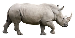 Rhinoceros with clipping path. Rhinoceros isolated on white with clipping path Stock Image
