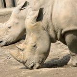 Rhinoceros 1. Close-up of rhinoceros head. Photo taken in China Chongqing city zoo Stock Photos