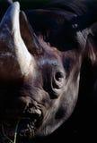 Rhinoceros Royalty Free Stock Photo