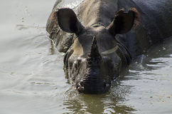 Rhinoceros Cooling Off Stock Photography