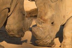Rhinos / Rhinoceros couple fighting on the ground royalty free stock image