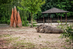 Rhinoceros couple. Royalty Free Stock Photography