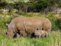 The rhinoceros cow and a small rhinoceros Royalty Free Stock Images