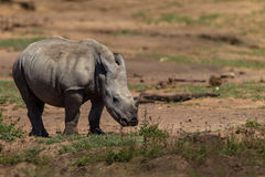 Rhinoceros Cub Alone Wildlife Stock Photography