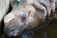 Rhinoceros with cut off horn Stock Photos