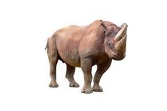 rhinoceros diceros bicornis черный Стоковое фото RF