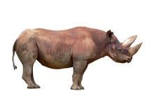 rhinoceros diceros bicornis черный Стоковое Изображение RF
