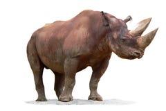 rhinoceros diceros bicornis черный Стоковая Фотография