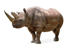 rhinoceros diceros bicornis черный Стоковое Фото