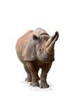 rhinoceros diceros bicornis черный Стоковое Изображение