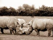 rhinoceros fotografia stock