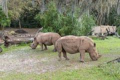 Rhinoceros, Disney World, Animal Kingdom, Travel royalty free stock photo