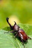 rhinoceros dithotomus жука allomyrina Стоковые Изображения