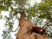 rhinoceros dithotomus жука allomyrina Стоковая Фотография