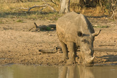 Rhinoceros drinking. Massive; dark-grey; two horns; poached mercilessly; browser; distribution limited to reserve; primarily solitary; bulls territorial Royalty Free Stock Image