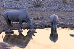 Rhinoceros drinking in Etosha park   at sunset. Namibia Royalty Free Stock Photo