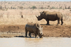Rhinoceros drinking near a waterhole Stock Images