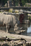 Rhinoceros drinking water. From the lake Stock Photos