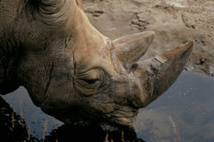 Rhinoceros drinking water Royalty Free Stock Images