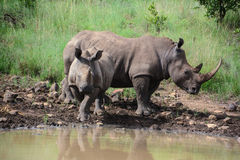 Rhinoceros drinking at waterhole Royalty Free Stock Image
