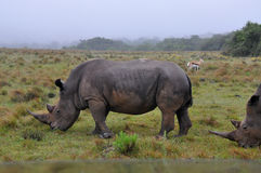Rhinoceros eating Royalty Free Stock Images