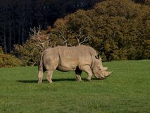 Rhinoceros eating grass. A rhinoceros eating grass in a English safari park Stock Photos