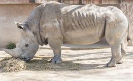 Rhinoceros eating grass, Ceratotherium Simun Royalty Free Stock Photo