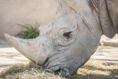Rhinoceros eating grass, Ceratotherium Simun Stock Photography