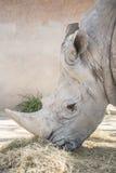 Rhinoceros eating grass, Ceratotherium Simun Stock Images