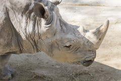 Rhinoceros eating grass, Ceratotherium Simun Royalty Free Stock Photography