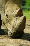 Rhinoceros eating grass peacefully Stock Photo