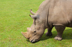 Rhinoceros eating grass peacefully, Cabarceno. Natural park, Spain Stock Photos