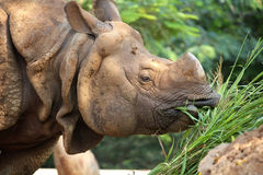 Rhinoceros eating green grass Royalty Free Stock Photography