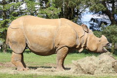 A rhinoceros Royalty Free Stock Photos