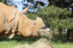 A rhinoceros. Eating hay in a field Stock Photo