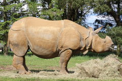 A rhinoceros. Eating hay in a field Royalty Free Stock Image