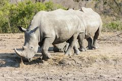Rhinoceros walking stock photo