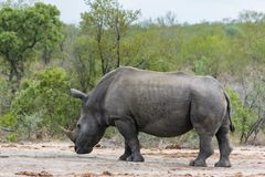 Rhinoceros all alone in the wild stock photos
