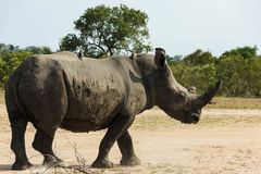 Rhinoceros standing next to the dirt road royalty free stock photos