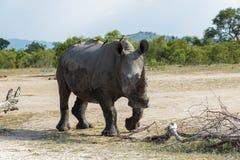 Rhinoceros approaching across the open field stock photos