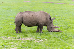 Rhinoceros. Endangered Rhino grazing on grass Stock Photography