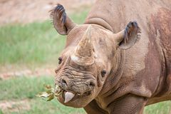 Rhinoceros enjoying on green grassy meadow Royalty Free Stock Images
