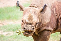 Rhinoceros enjoying on green grassy meadow Royalty Free Stock Photos