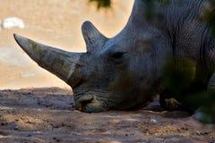 A Rhinoceros enjoys the shade Stock Photo