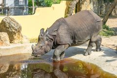 The rhinoceros enters the water. The rhinoceros enters the water on a hot, sunny day royalty free stock photo