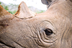Rhinoceros eye. Close-up Rhinoceros on his eye with detail of skin texture Royalty Free Stock Photo