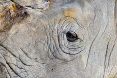 Rhinoceros eye close-up Stock Images